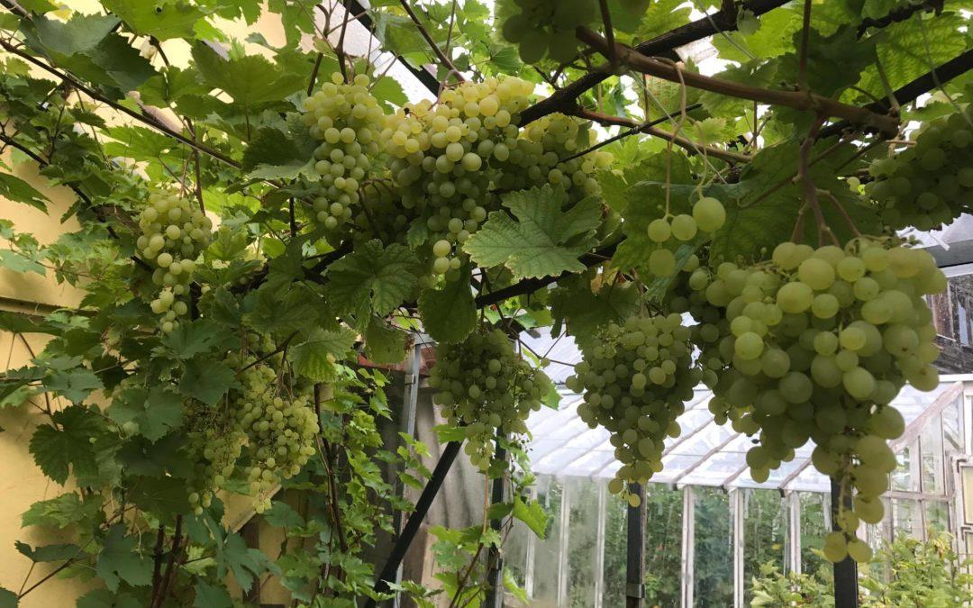 Kasvuhoone ja viinamarjad – kes soovib endale sellist saaki?
